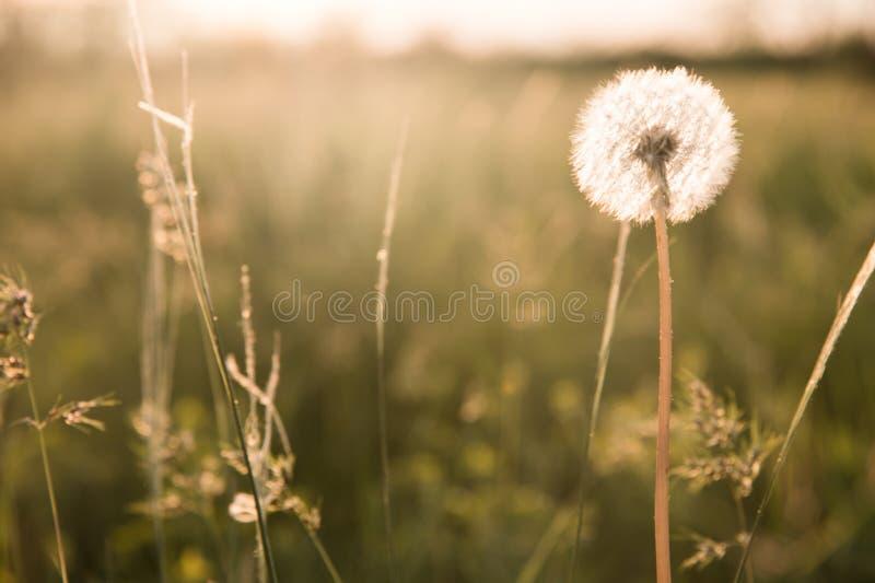 Tête transparente de graine de pissenlit au coucher du soleil en plan rapproché d'herbe verte avec des points culminants du solei photographie stock libre de droits