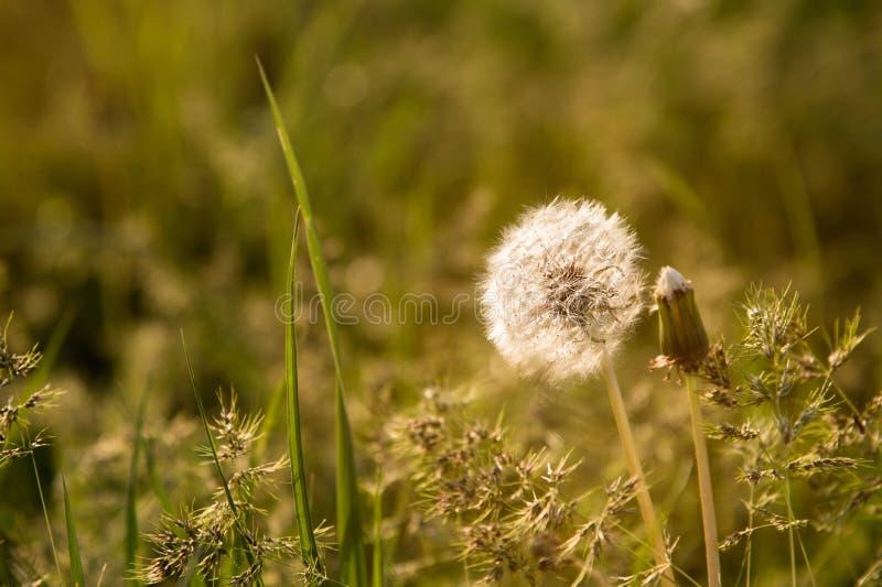 Tête transparente de graine de pissenlit au coucher du soleil en plan rapproché d'herbe verte avec des points culminants du solei image libre de droits