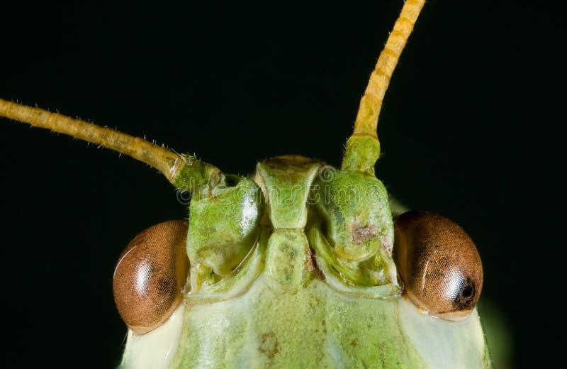 Tête verte de cricket images stock