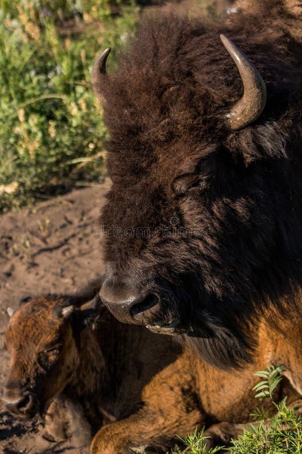 Têtes d'adulte et de Buffalo de bébé en Custer State Park dans le Dakota du Sud photos libres de droits