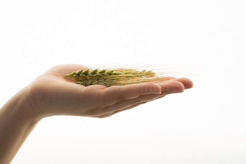 Têtes d'orge et de blé photographie stock