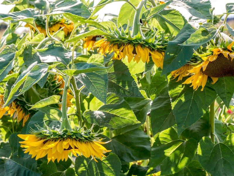 Têtes de fleur accrochantes du soleil dues à sec Fin vers le haut photographie stock
