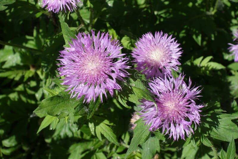 3 têtes de fleur mauve de dealbata de Centaurea photos stock