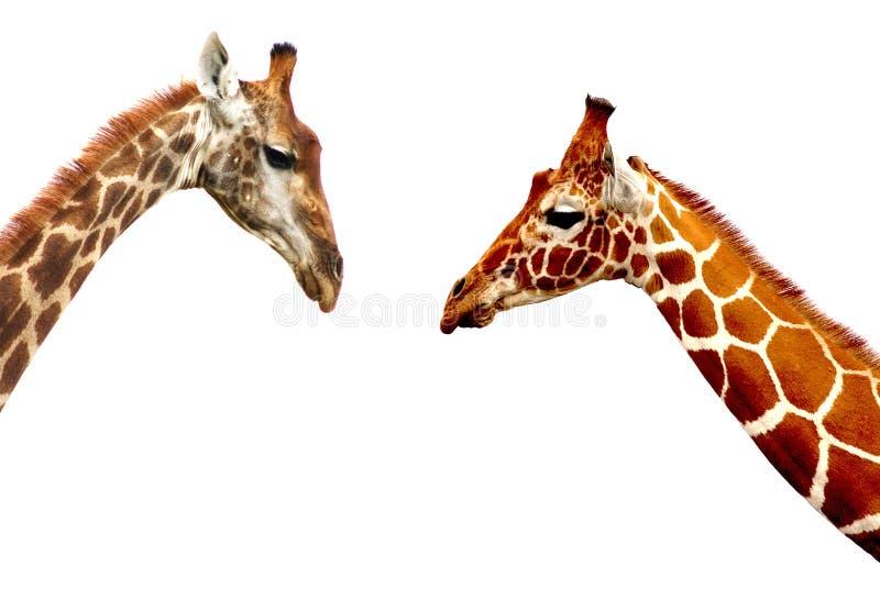 Têtes de girafe d'isolement sur le fond blanc images libres de droits