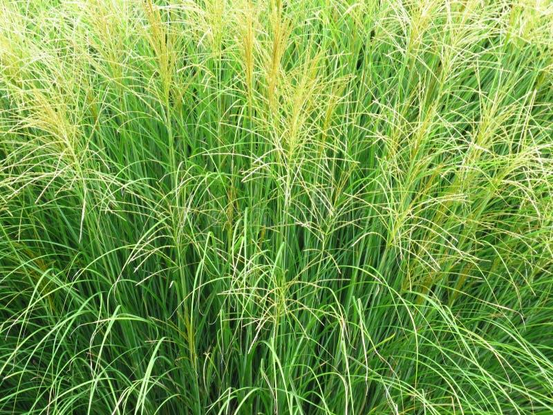 Têtes de graine d'herbe verte sur des tiges Fermez-vous vers le haut de la vue photos stock