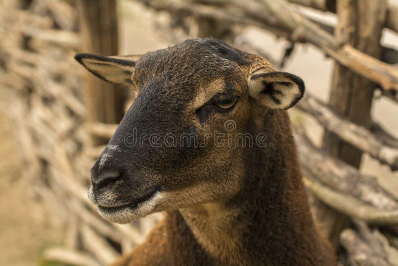 Têtes de plan rapproché de pure race de moutons photo stock