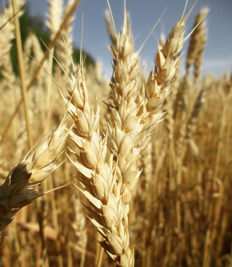 Têtes en gros plan de blé photo libre de droits