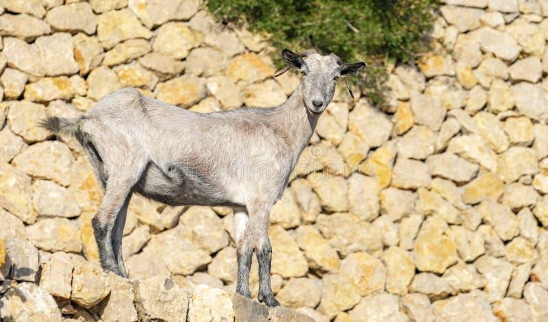 Típica cabra en el formentor, sierra de tramuntana en Mallorca fotos de archivo