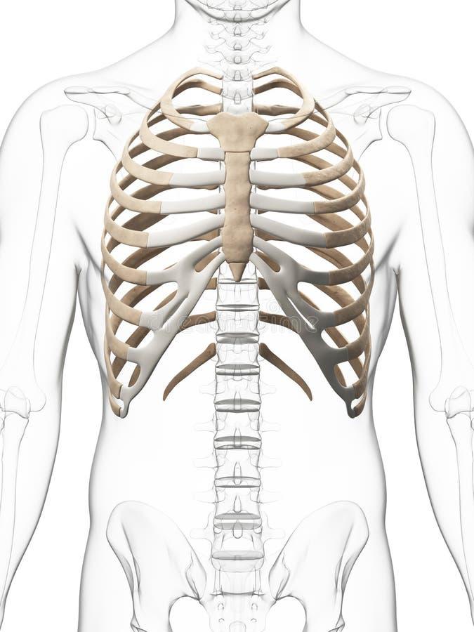 Tórax esqueletal ilustração stock