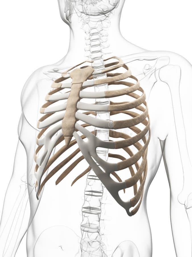 Tórax esqueletal humano ilustração do vetor