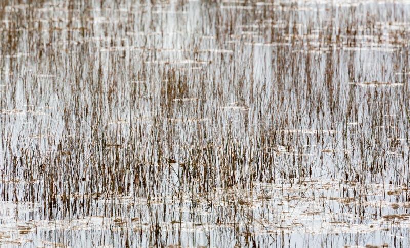 Töm sängen av vasser i Everglades Florida royaltyfri foto