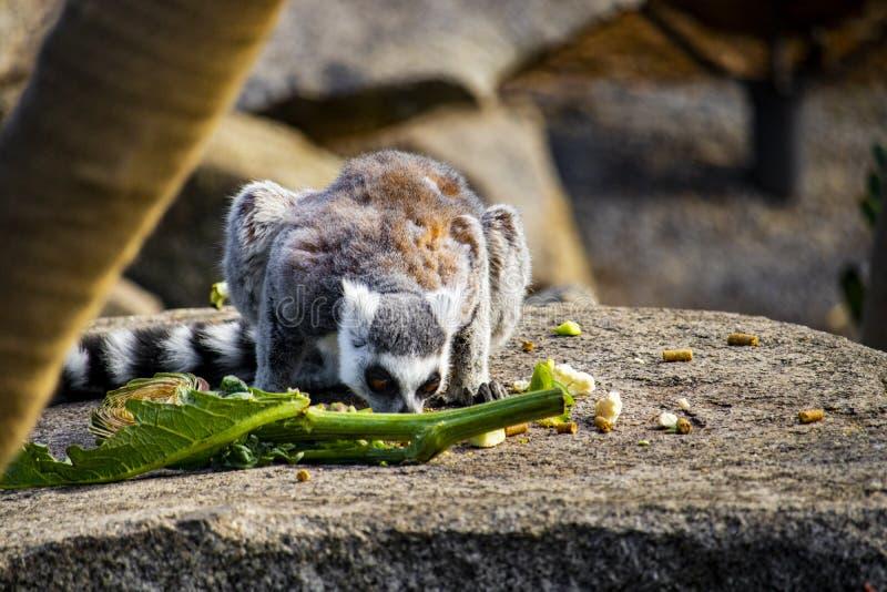 Tönen-angebundener Maki, der von einem Stapel der Nahrung isst lizenzfreie stockfotografie