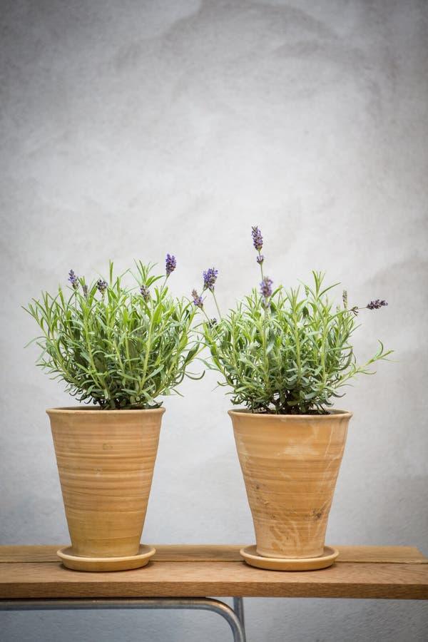 Töpfe mit Lavendel in den Blumentöpfen lizenzfreie stockfotografie