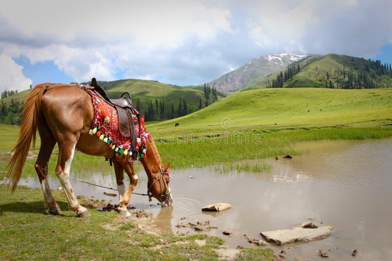 törstig häst arkivbilder