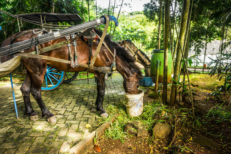 Törstig hästdrink i det vita hinkfotoet som tas i Jakarta Indonesien royaltyfri fotografi