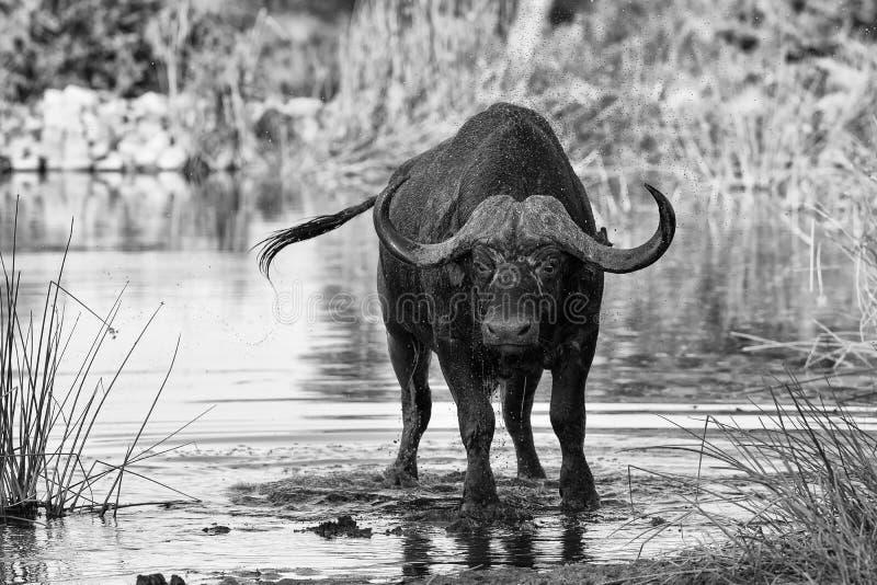 Törstigt dricksvatten för uddebuffeltjur från konstnärlig conv för damm royaltyfri fotografi