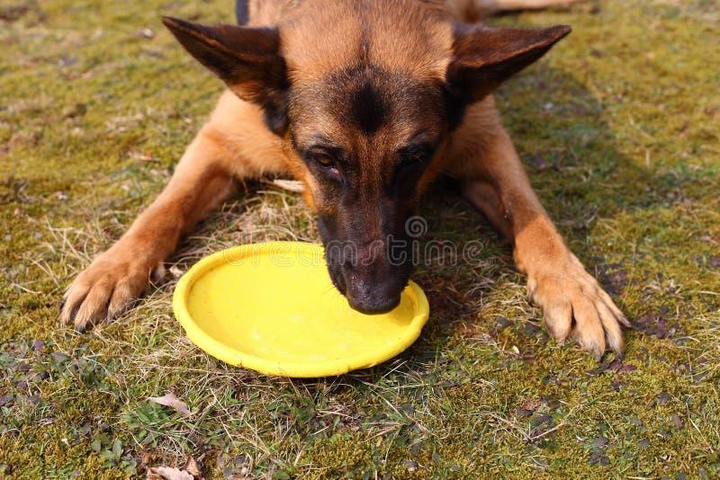 Törstigt hunddricksvatten royaltyfria bilder