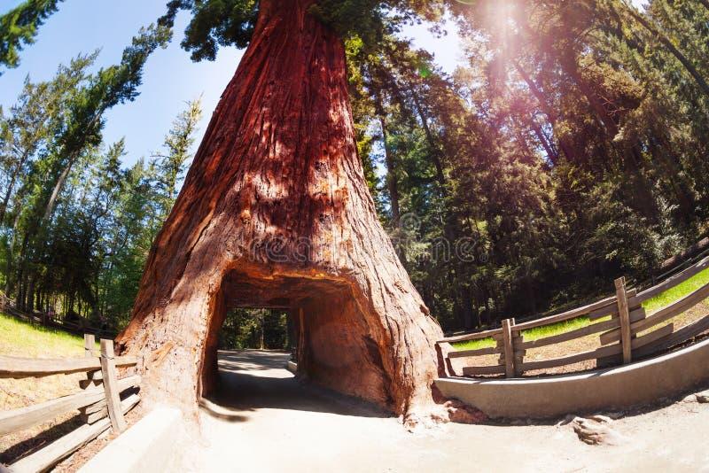 Túnel através da sequoia no parque nacional da sequoia vermelha imagens de stock