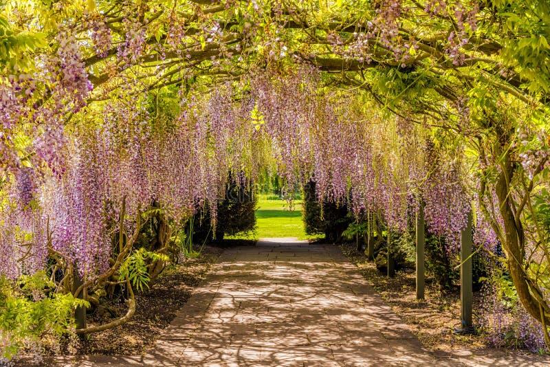 Túnel da flor da glicínia, Hampton Court Castle, Herefordshire, Inglaterra foto de stock