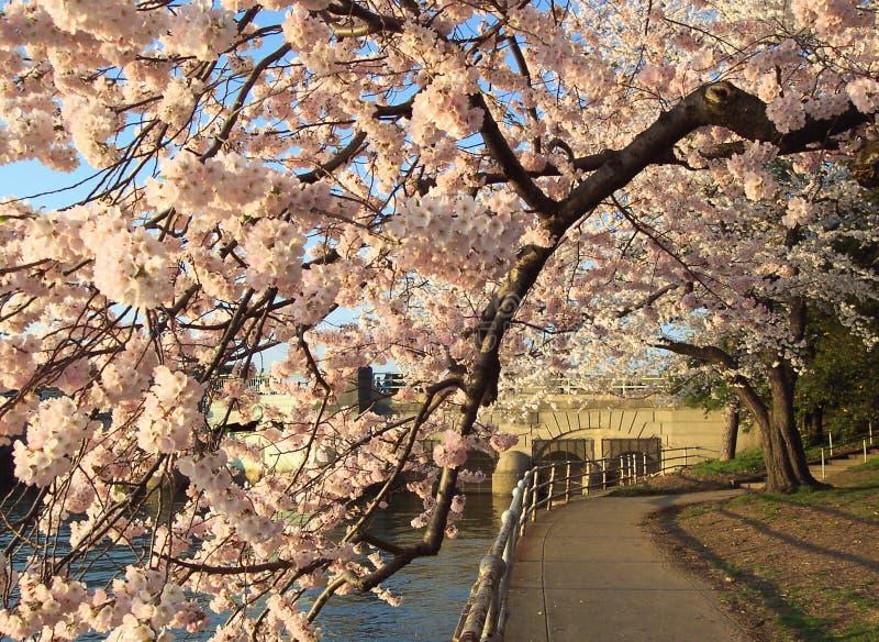 Túnel da flor de cereja fotos de stock royalty free