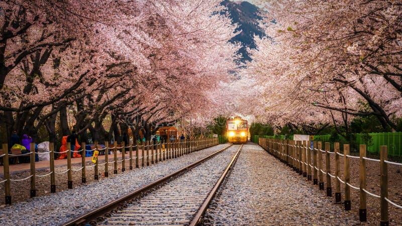 Túnel de Sakura de la estación de Gyeonghwa fotografía de archivo