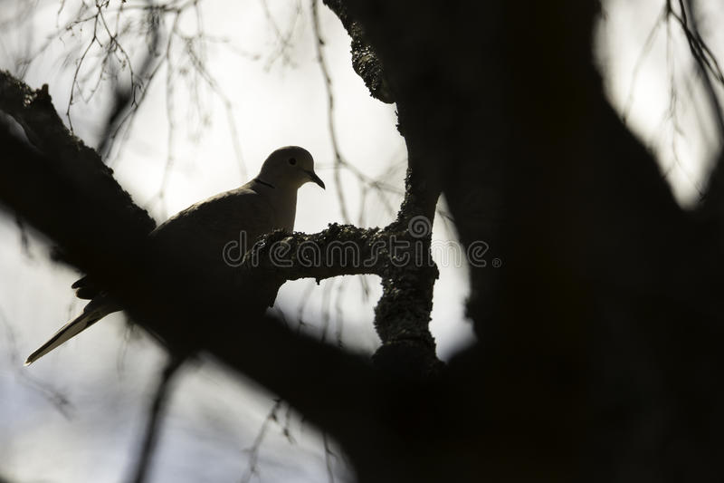 Türkentaube, die im Baum sitzt lizenzfreie stockfotos