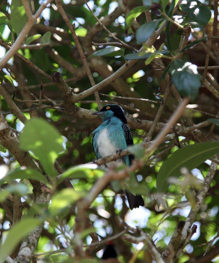 Türkis-Blau-und Schwarz-Vogel stockfotos