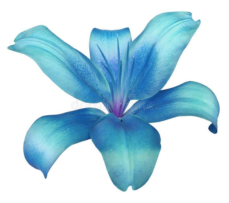 Türkis-blaue Blume Der Lilie, Lokalisiert Mit Beschneidungspfad, Auf ...