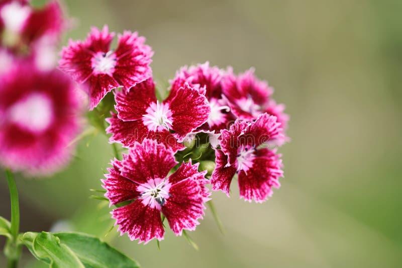 Türkisches Gartennelkenhochrot Bush-Blume lizenzfreie stockfotografie