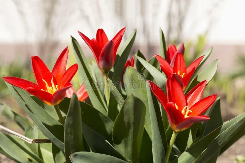 Jaskrawy czerwony tulipan kwitnie w pogodnym ranku Wiosna obrazy royalty free