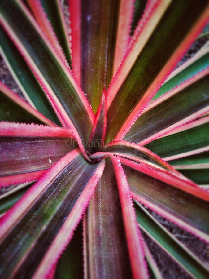 Tęcza ananas fotografia stock