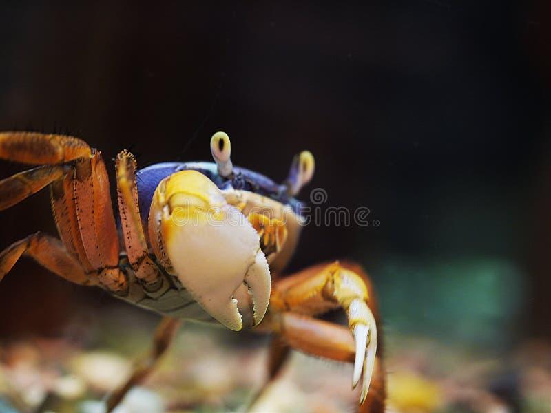 Tęcza krab barwiący z błękitem i czerwienią pokazuje swój dużego prawego pazur kamera obraz stock