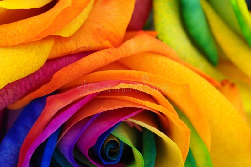 Tęcza różany lub szczęśliwy kwiat zdjęcia stock