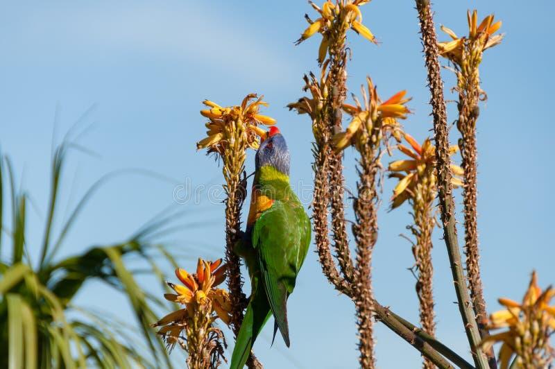 Tęczy lorikeet papuziego łasowania jaskrawy pomarańczowy aloes kwitnie obrazy stock