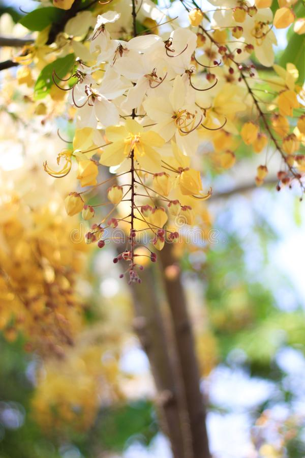 Tęczy prysznic drzewny kwiat Ratchaphruek lub biel zdjęcie stock