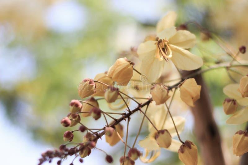 Tęczy prysznic drzewny kwiat Ratchaphruek lub biel obraz stock