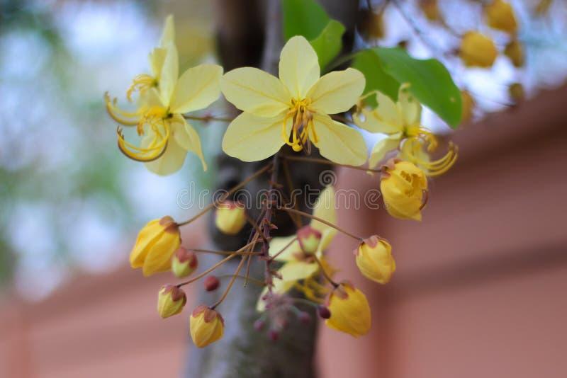 Tęczy prysznic drzewny kwiat Ratchaphruek lub biel obrazy royalty free
