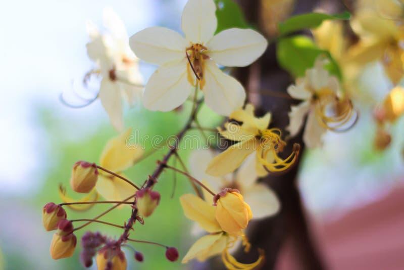 Tęczy prysznic drzewny kwiat Ratchaphruek lub biel obraz royalty free