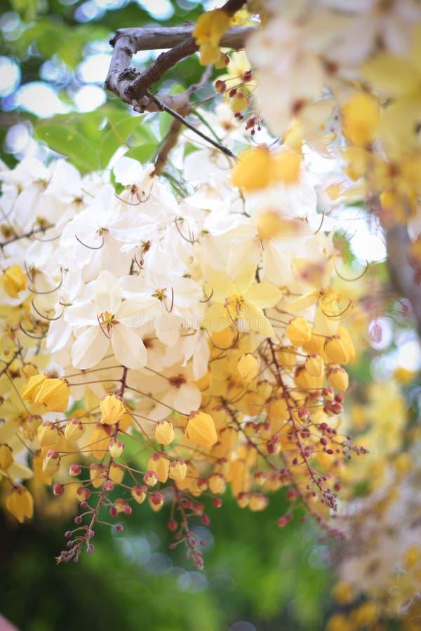 Tęczy prysznic drzewny kwiat Ratchaphruek lub biel fotografia royalty free
