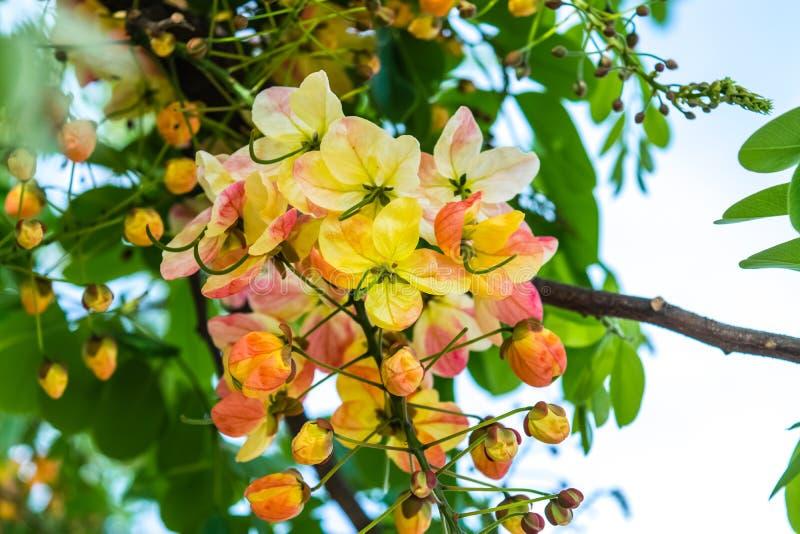 Tęczy prysznic drzewo, kasja kwiaty zdjęcia stock