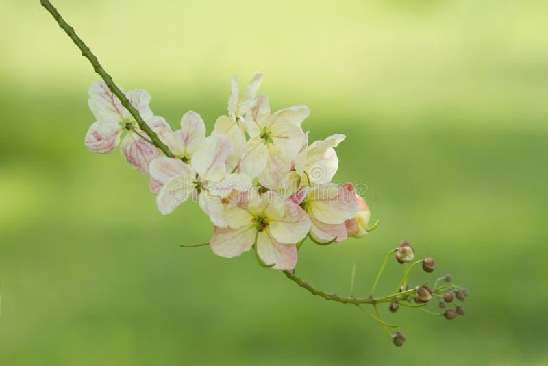 Tęczy prysznic kwiat fotografia stock