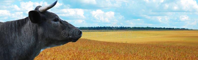 tła błękitny krowy panoramy niebo zdjęcie royalty free