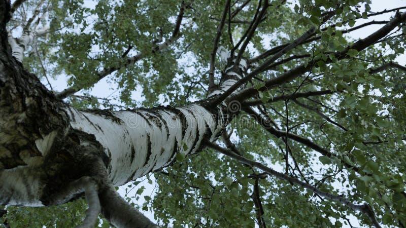 tła Baikal brzozy jeziora drzewo obrazy stock
