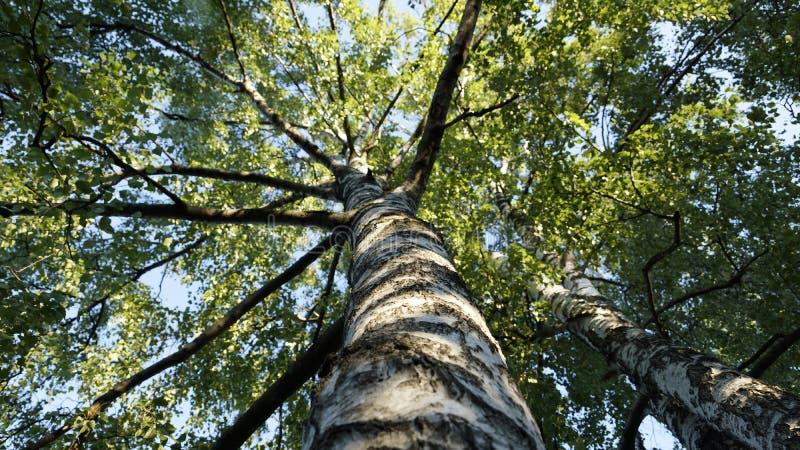 tła Baikal brzozy jeziora drzewo zdjęcia stock