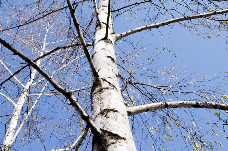 tła Baikal brzozy jeziora drzewo Brzoza i niebo Drzewo blisko szczekać strzału drzewo, błękitne niebo Drzewo przeciw niebieskiemu obrazy royalty free