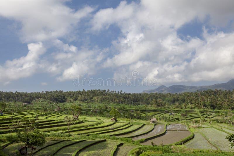 tła Bali kokosowi wcześni śródpolni Indonesia ryż reżyserują drzewa Kokosowy drzewo i h obraz stock