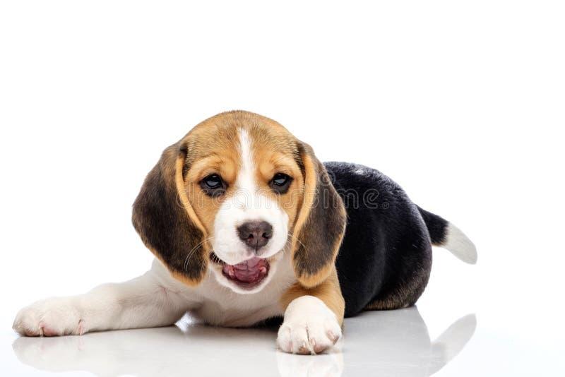 tła beagle odosobniony mały szczeniaka biel obrazy stock