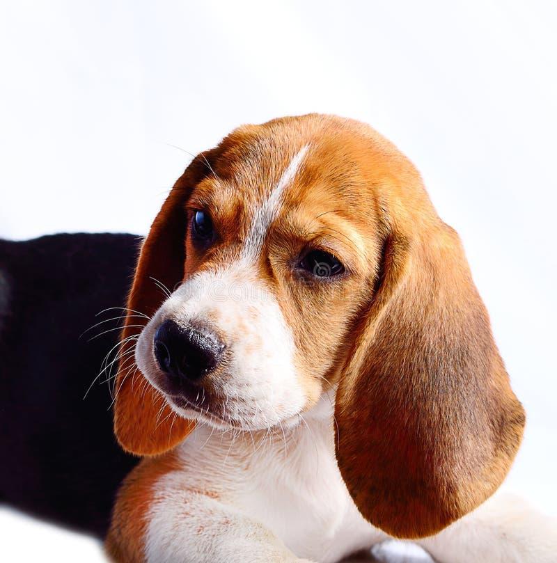 tła beagle psa odosobniony biel zdjęcie stock