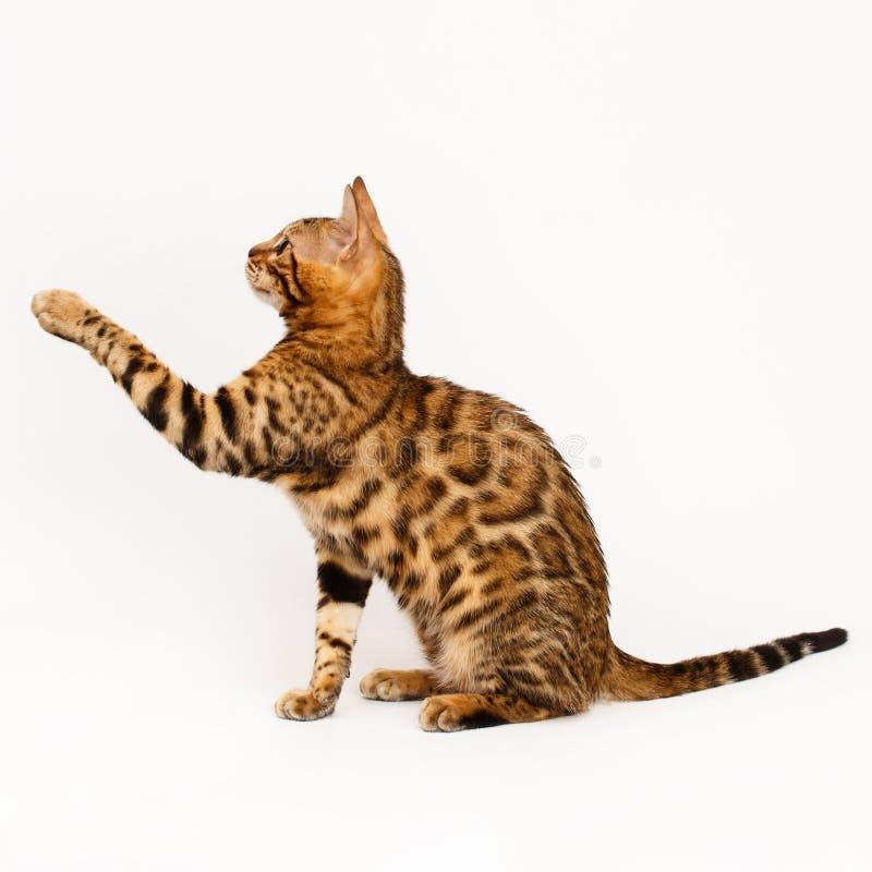tła Bengal kot odizolowywający bawić się biel zdjęcia stock
