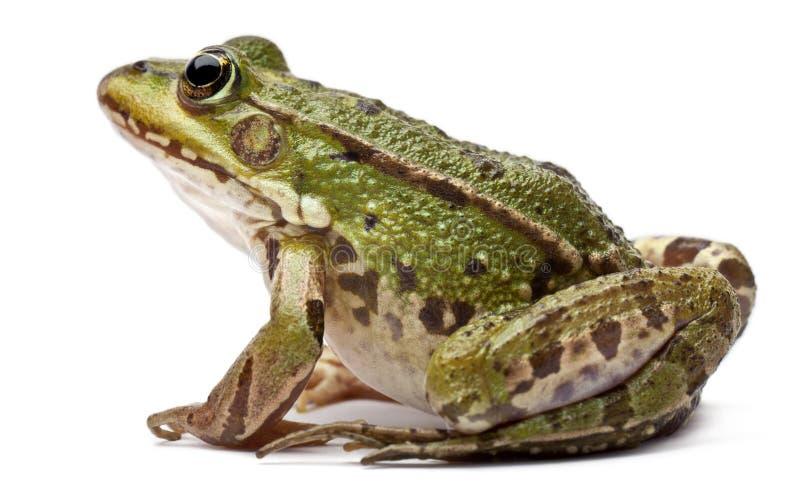 tła bufo pospolity jadalny europejski okładzinowy żaby przodu kl rana kumaka biel esculenta fotografia stock